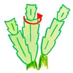 シャコバサボテンの葉摘み