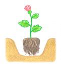 花壇への植えつけ