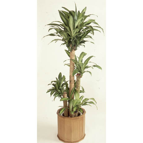 ドラセナ(幸福の木)