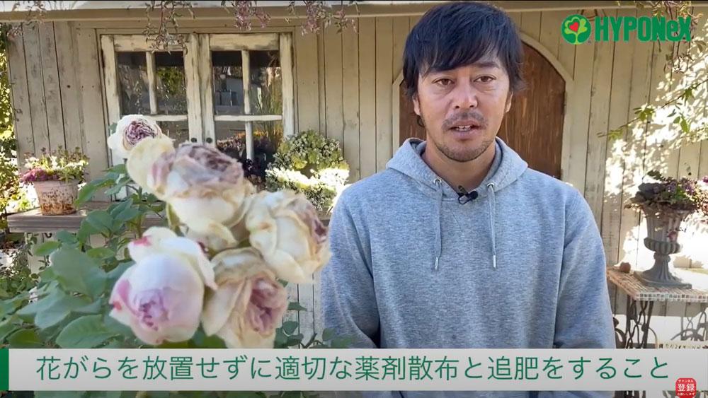 バラの育て方 秋バラの花後の管理(鉢植え)