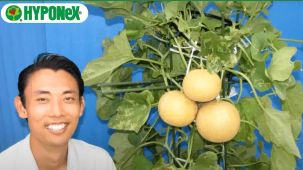 甘いメロンを育てるコツ(果実の実らせ方・空中栽培の方法)#おいしいメロンの育て方