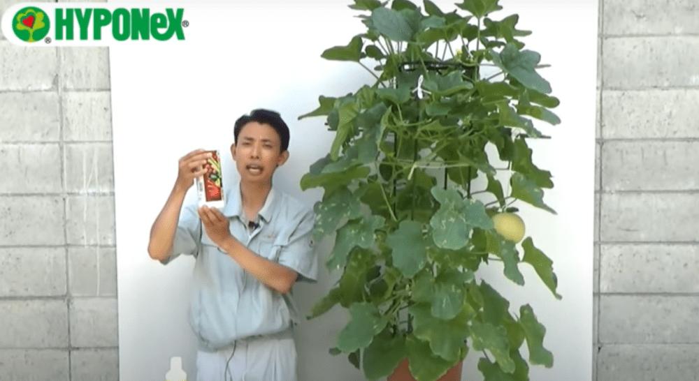 甘いメロンを育てるコツ(肥料や活力液の与え方)#おいしいメロンの育て方