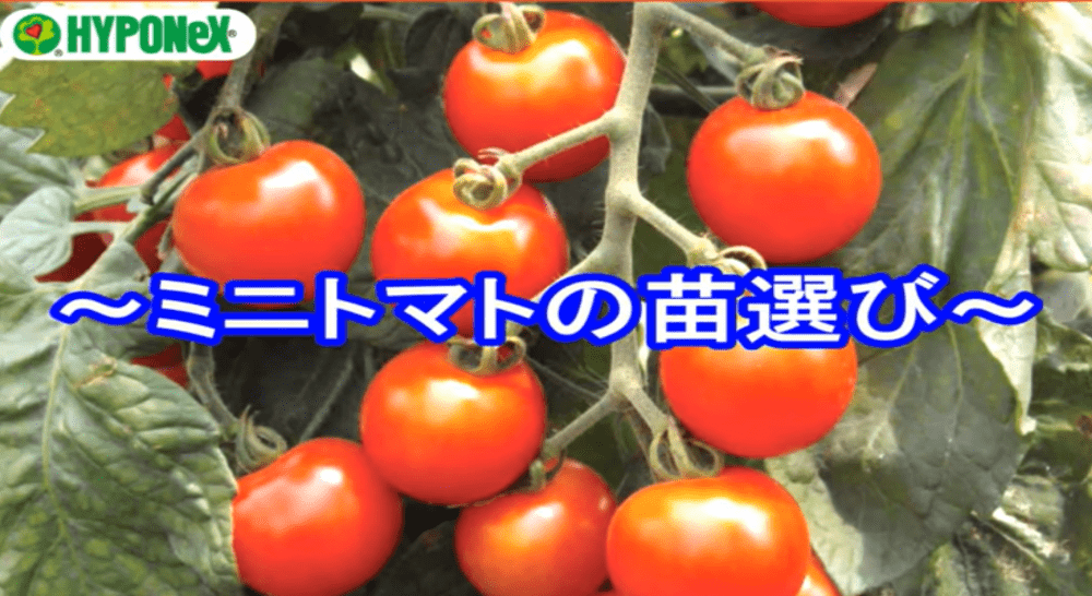 たくさんミニトマトを収穫するコツ(苗選び・植え付けのタイミング)#おいしいミニトマトの育て方