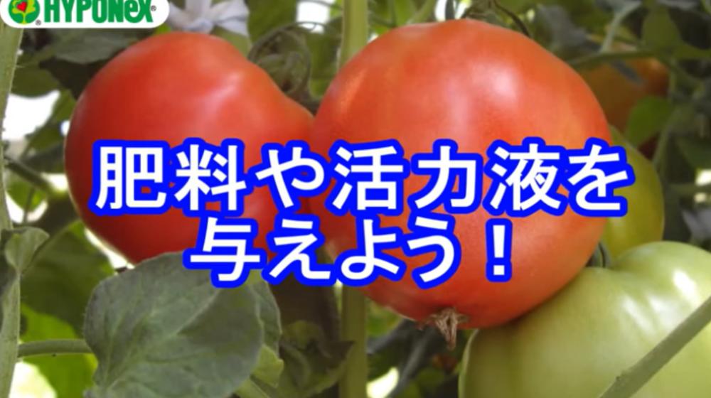 大きなトマトを育てるコツ(肥料や活力液の与え方)#おいしいトマトの育て方