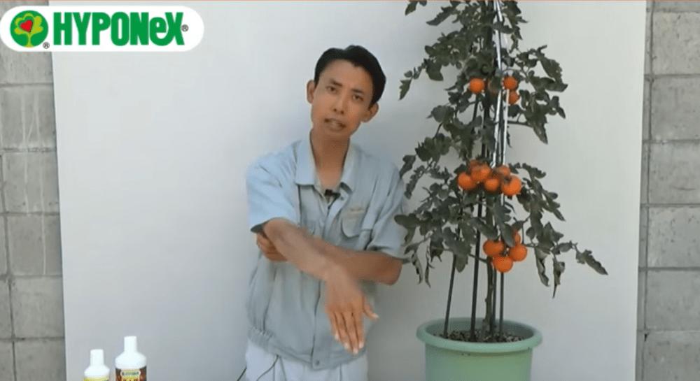 大きなトマトを育てるコツ(実割れ・茎折れ防止方法)#おいしいトマトの育て方