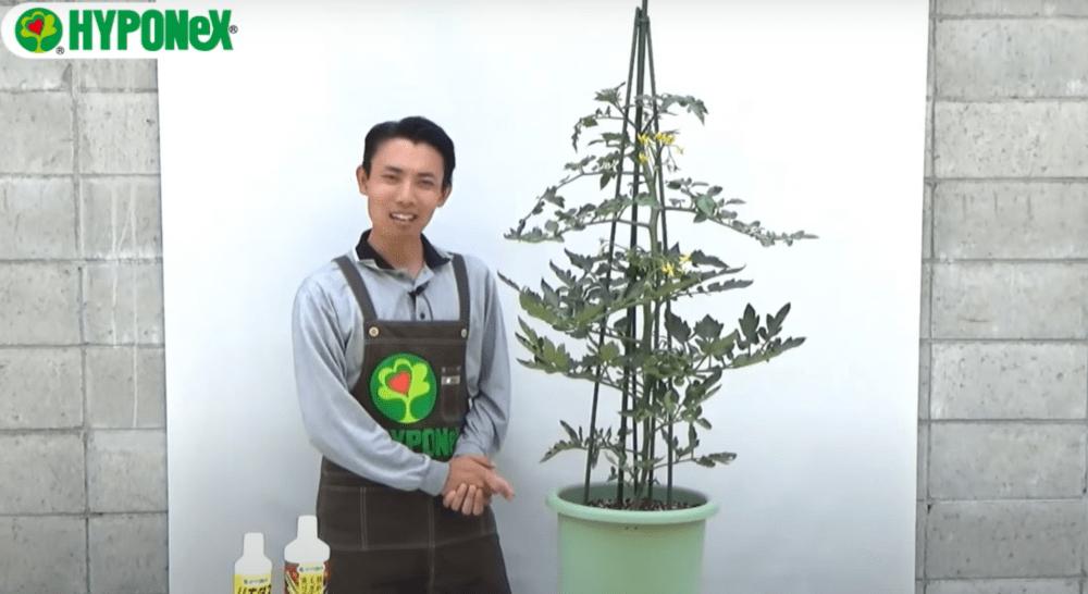 【たくさんミニトマトを収穫するコツ2】2本仕立て栽培