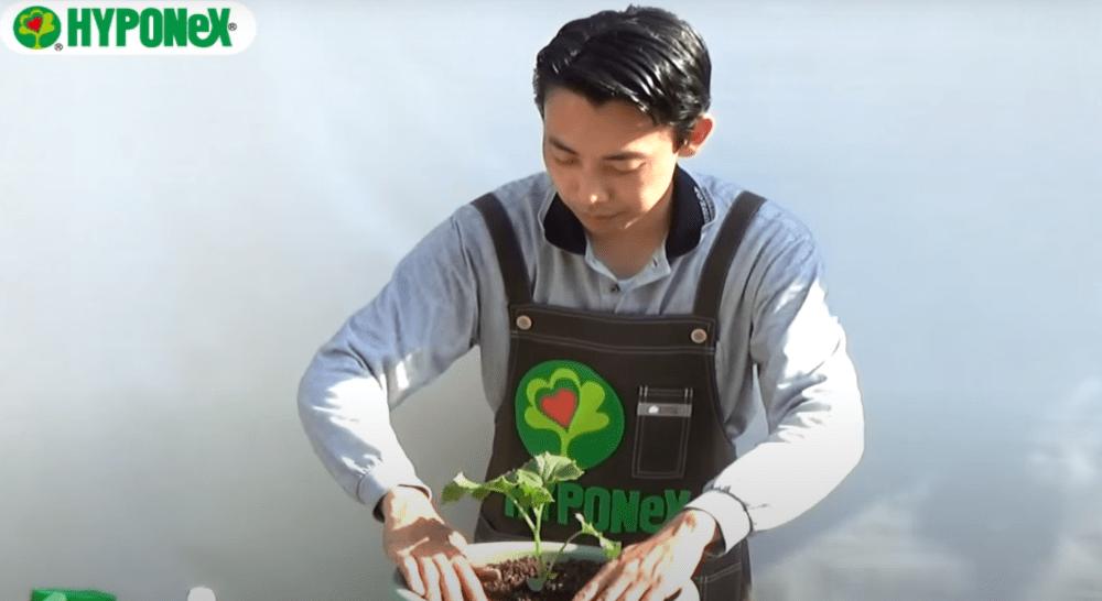 【おいしいきゅうりの育て方】立派なきゅうりを育てるコツ(植え付けのポイント)