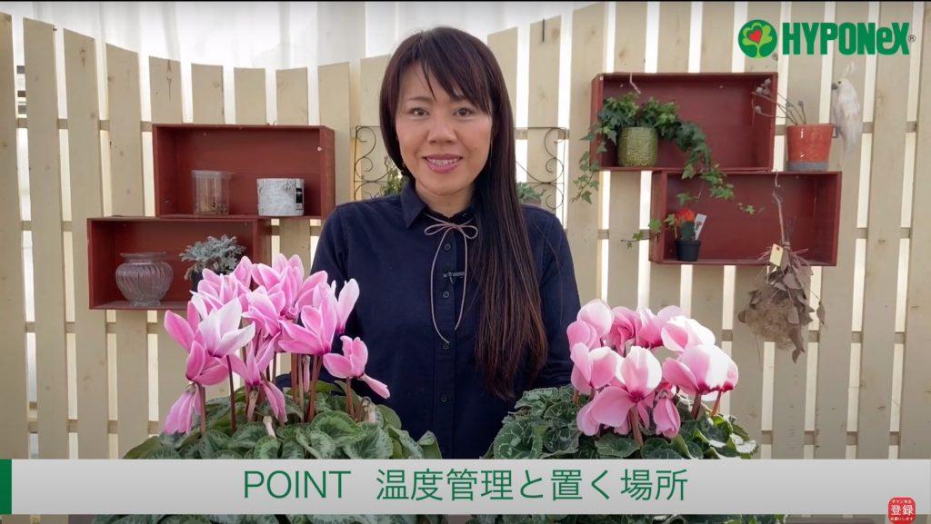 シクラメンの育て方 秋から5月まで楽しめるシクラメンの栽培法