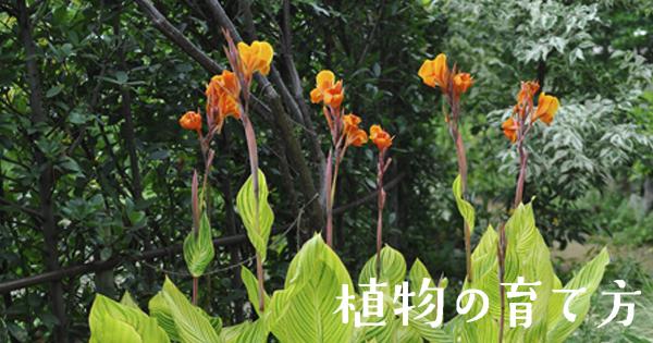 カンナ (植物)の画像 p1_36