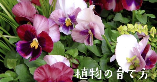 ビオラ (植物)の画像 p1_30
