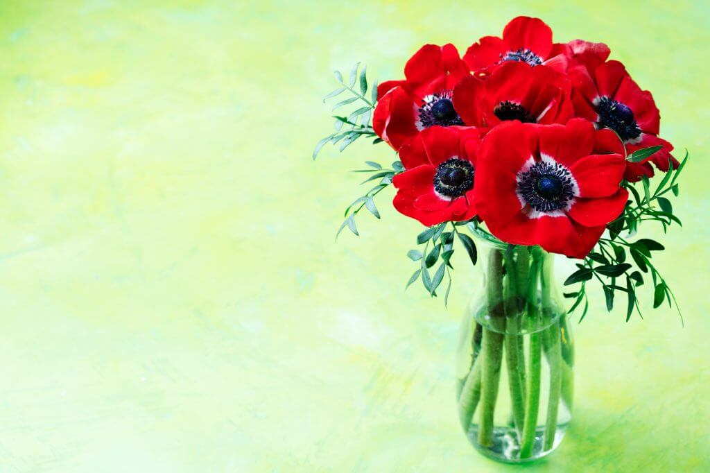 Red Anemone flowers bouquet in glass vase Bright green background Copy space