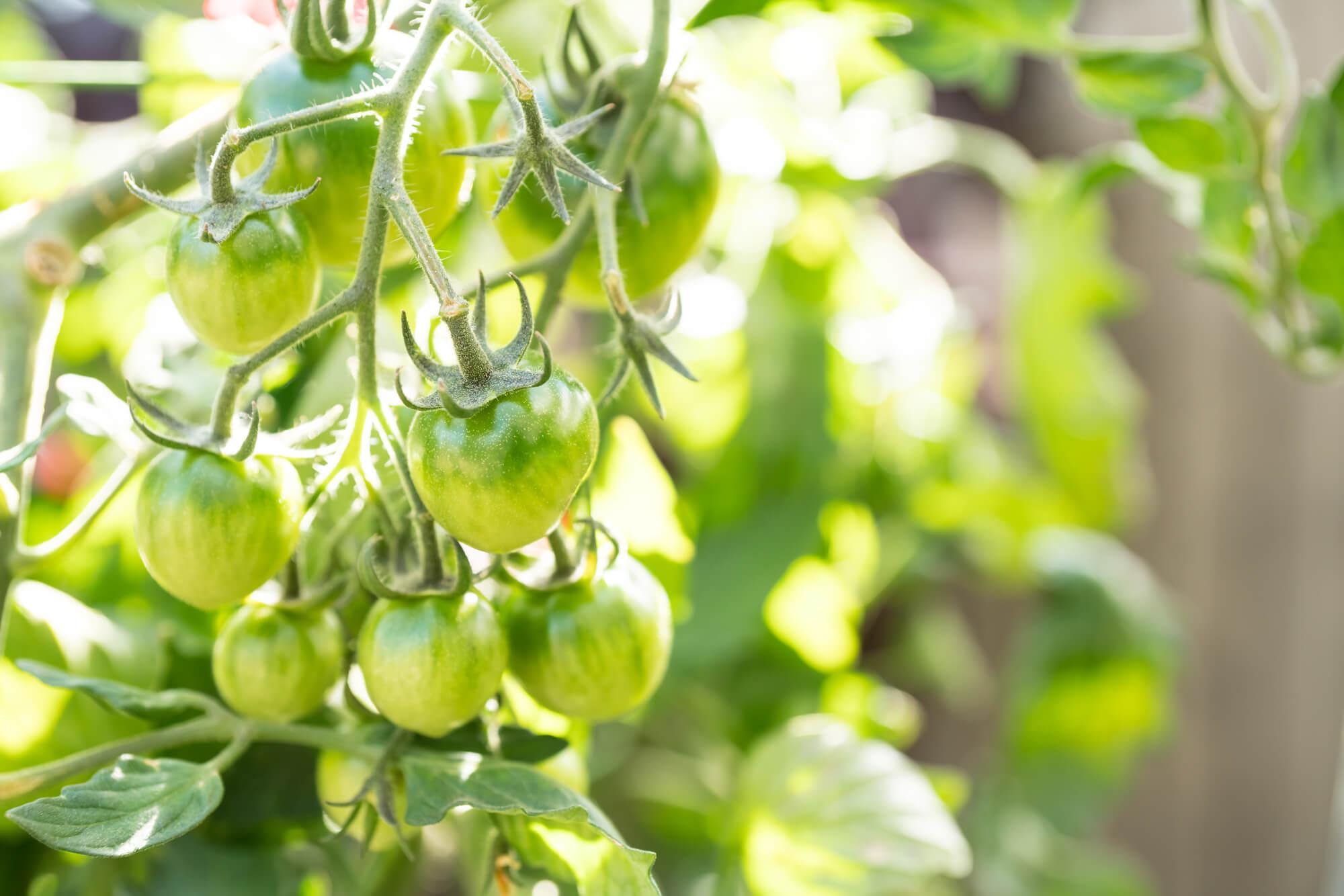 枯れる ミニ トマト 葉っぱ