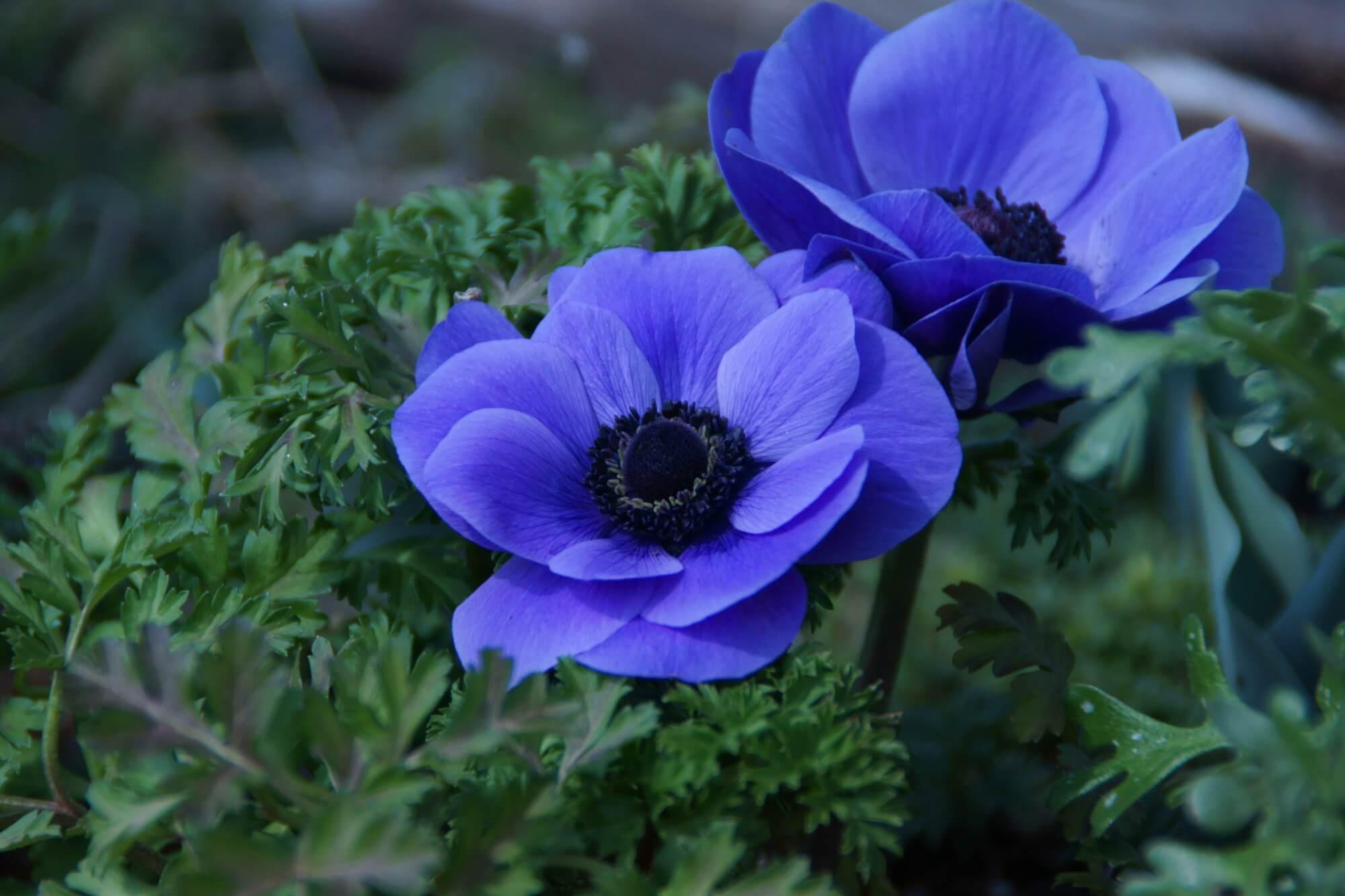 春を彩る情熱の花、アネモネの上手な育て方   植物とあなたをつなぐPlantia