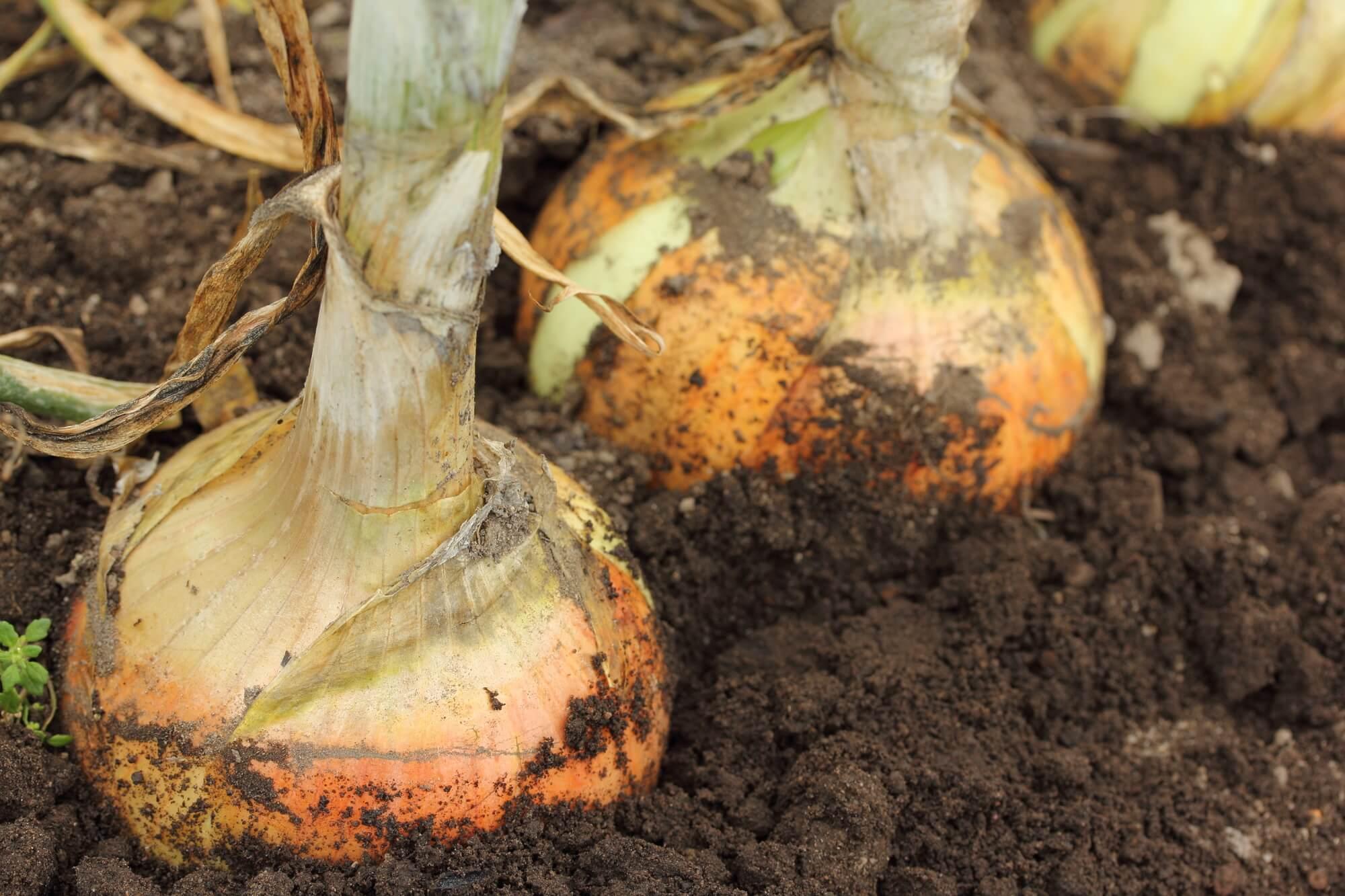 玉ねぎ の 植え付け 時期