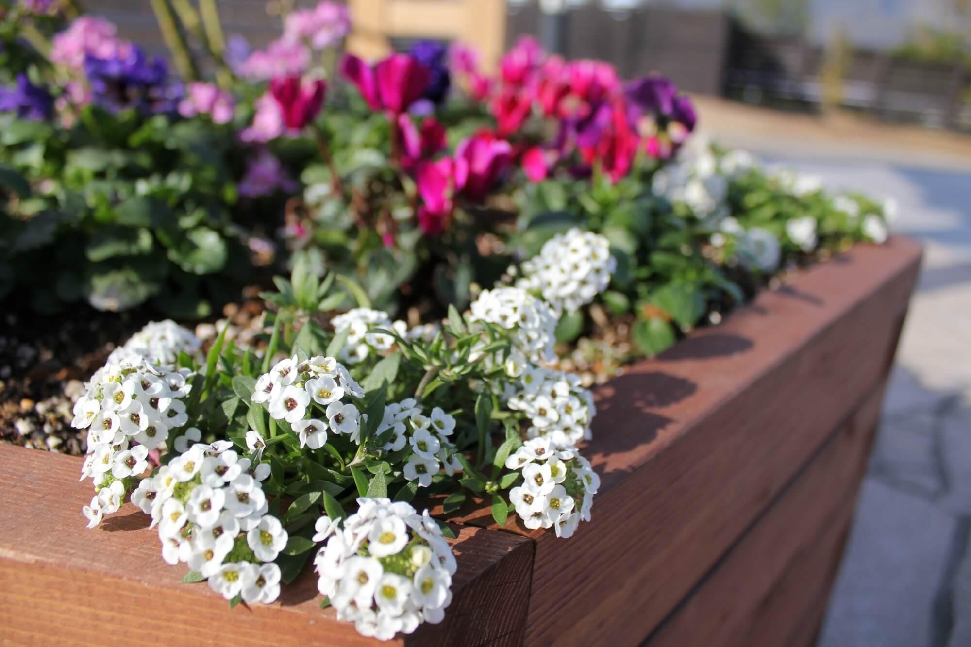 寄せ植えにおすすめ!可憐な小花・スイートアリッサムを上手に育てるに ...