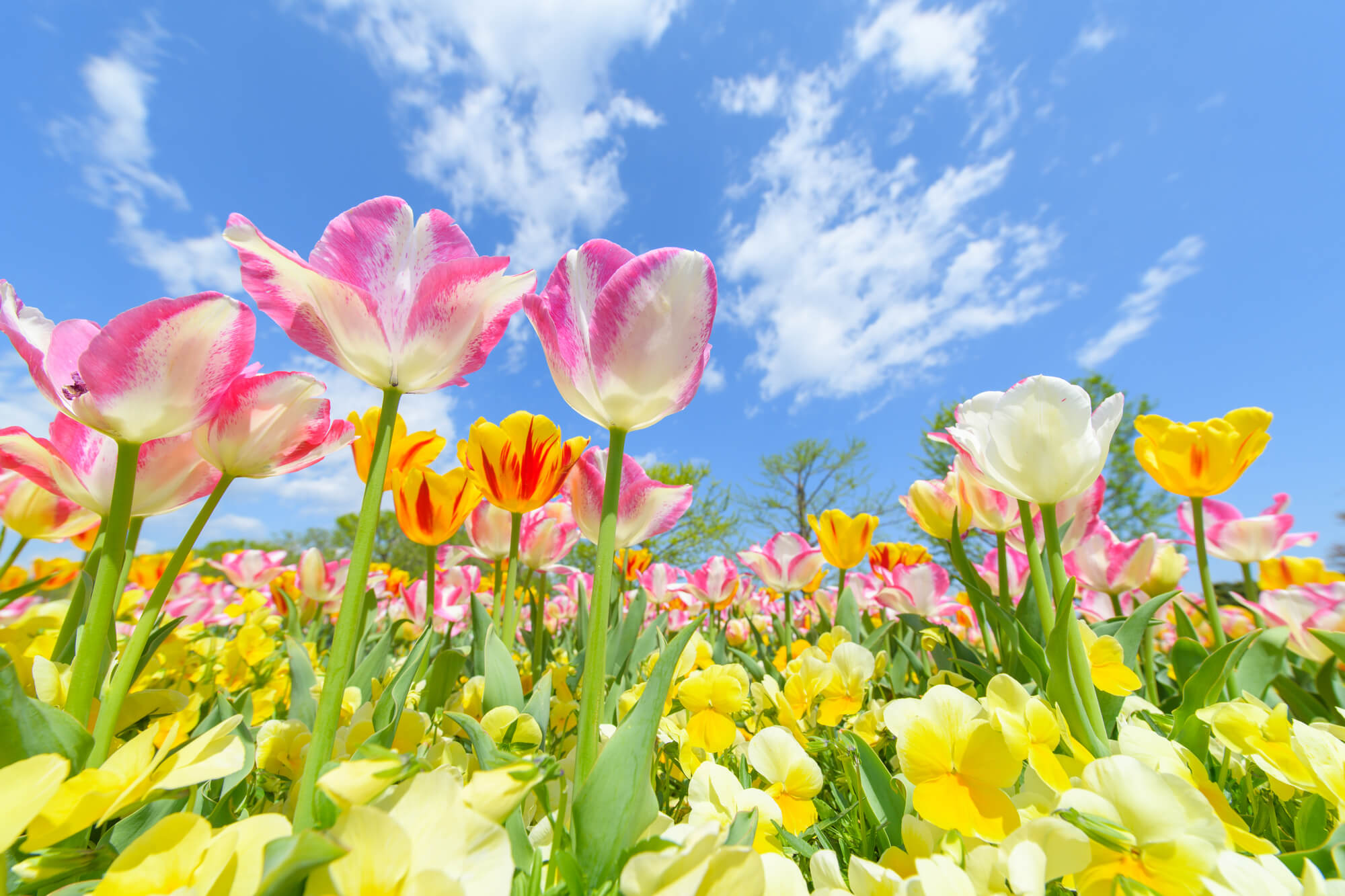 チューリップの開花後の管理・春にすべきお手入れについて | 植物とあなたをつなぐPlantia