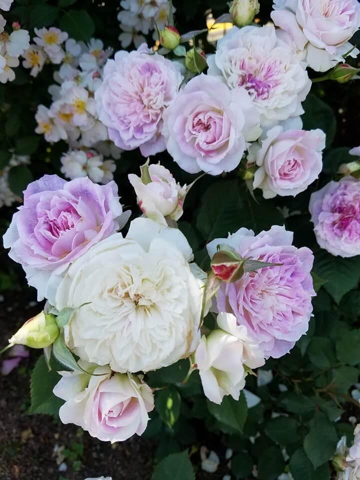 モナコ国際バラコンクールで日本のバラが二つの部門で受賞