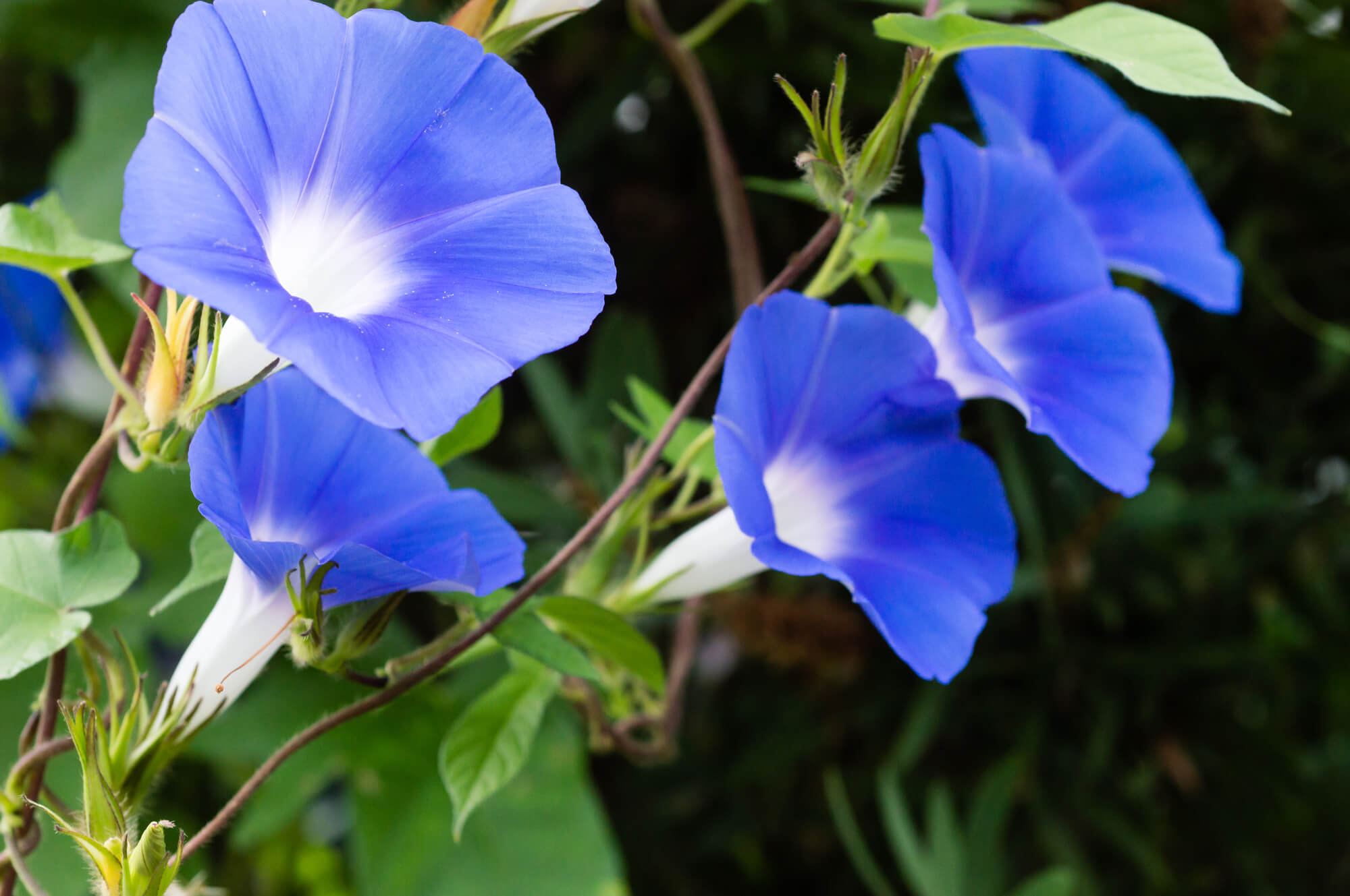 アサガオが枯れる原因と対策。枯れそうなときの復活方法について|植物とあなたをつなぐPlantia