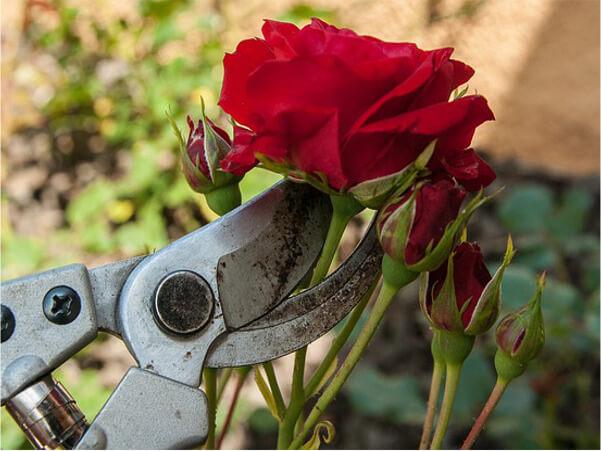 rose_cut