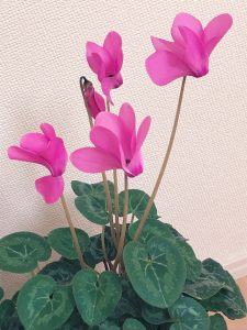shikuramen11