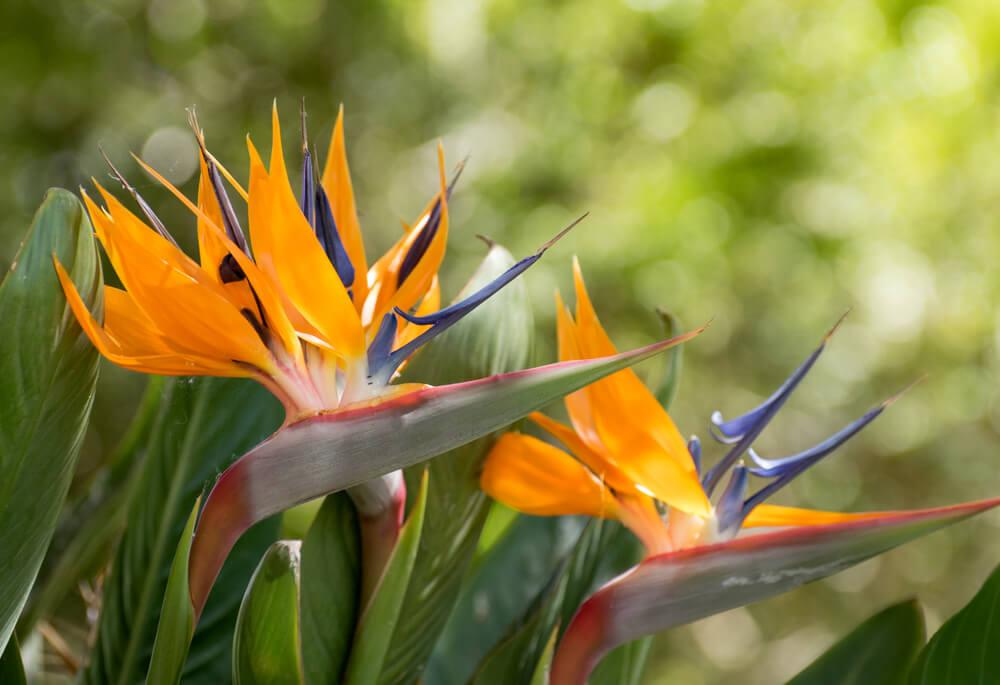 観葉植物・ストレリチア。花を咲かせるにはどうすればいい? | 植物と ...