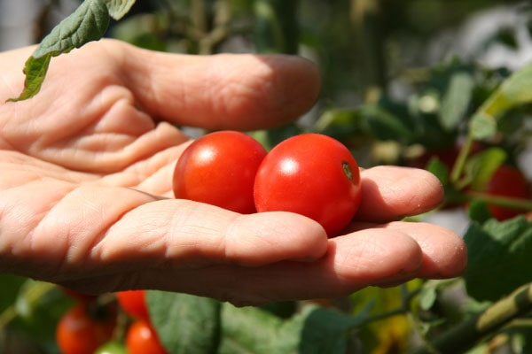 栽培 方法 トマト ミニ トマト・ミニトマトの栽培方法・育て方のコツ