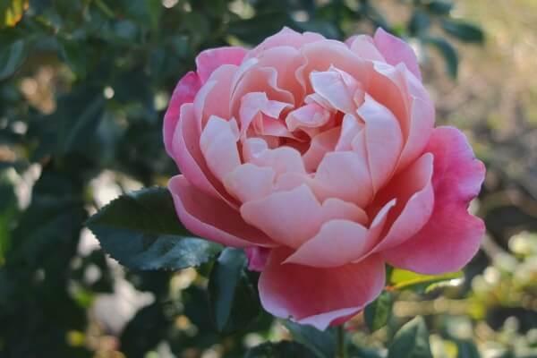 pink1-min