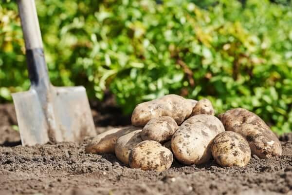植え付け 時期 秋 ジャガイモ の
